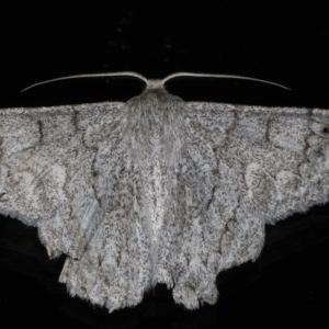 Crypsiphona ocultaria at Ainslie, ACT - 18 Mar 2020