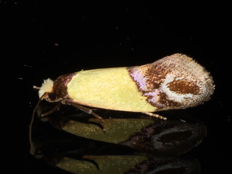 Edosa xystidophora at Ainslie, ACT - 18 Mar 2020