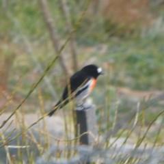 Petroica boodang (Scarlet Robin) at Wandiyali-Environa Conservation Area - 10 Jun 2020 by Wandiyali