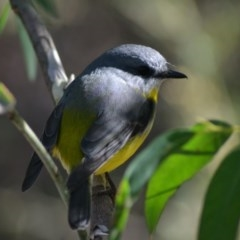 Eopsaltria australis (Eastern Yellow Robin) at ANBG - 8 Jun 2020 by Bernadette