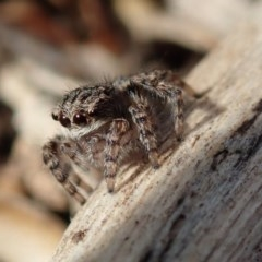 Maratus vespertilio (Bat-like peacock spider) at Spence, ACT - 10 Jun 2020 by Laserchemisty