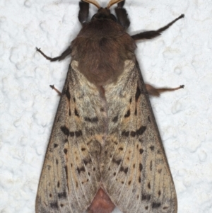 Oxycanus silvanus at Ainslie, ACT - 10 Jun 2020