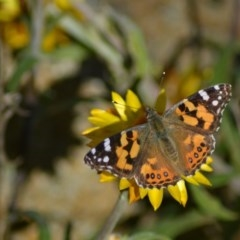 Vanessa kershawi (Australian Painted Lady) at ANBG - 8 Jun 2020 by Bernadette