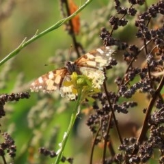 Vanessa kershawi (Australian Painted Lady) at Gigerline Nature Reserve - 10 Jun 2020 by RodDeb
