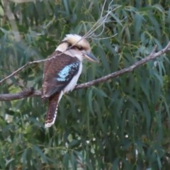 Dacelo novaeguineae (Laughing Kookaburra) at Gigerline Nature Reserve - 10 Jun 2020 by RodDeb