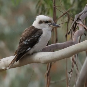 Dacelo novaeguineae at Gigerline Nature Reserve - 10 Jun 2020