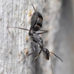 Camponotus nigroaeneus (Sugar ant) at ANBG - 9 Jun 2020 by TimL
