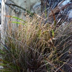 Schoenus ericetorum (Heathy Bog-sedge) at Murramarang National Park - 11 Jun 2020 by Nicholas de Jong