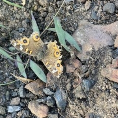 Junonia villida (Meadow Argus) at FS Private Property - 12 Jun 2020 by Stewart