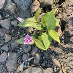 Schelhammera undulata (Lilac Lily) at FS Private Property - 12 Jun 2020 by Stewart