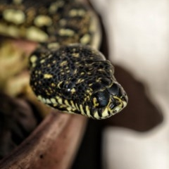 Morelia spilota spilota (Diamond Python) at FS Private Property - 12 Jun 2020 by Stewart