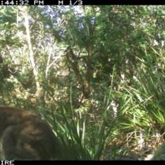 Macropus giganteus (Eastern Grey Kangaroo) at Swanhaven, NSW - 9 Jun 2020 by simon.slater