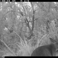 Wallabia bicolor (Swamp Wallaby) at Swanhaven, NSW - 11 Jun 2020 by simon.slater