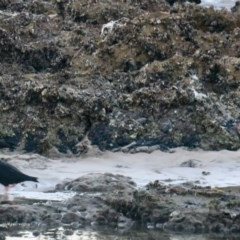 Haematopus fuliginosus (Sooty Oystercatcher) at Batemans Marine Park - 10 Jun 2020 by Gee