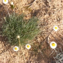 Leucochrysum albicans subsp. tricolor (Hoary Sunray) at Lawson, ACT - 12 Jun 2020 by MichaelMulvaney