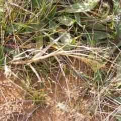 Panicum capillare or P. hillmanii (An exotic invasive panic grass) at Lawson, ACT - 12 Jun 2020 by MichaelMulvaney