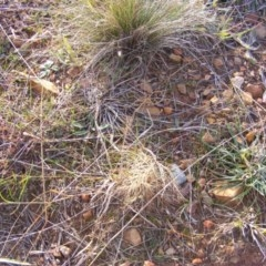 Aristida behriana (Bunch wiregrass) at Lawson, ACT - 12 Jun 2020 by MichaelMulvaney