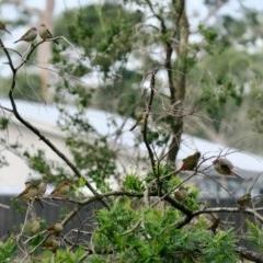 Neochmia temporalis (Red-browed Finch) at Batemans Marine Park - 6 Jun 2020 by Gee