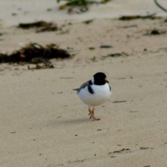 Thinornis rubricollis (Hooded Plover) at suppressed - 8 Jun 2020 by Stewart