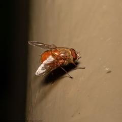 Calliphora ochracea (Reddish Brown blowfly) at ANBG - 12 Jun 2020 by Roger