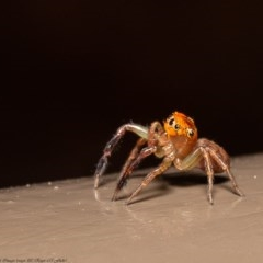 Prostheclina pallida (Orange jumping spider) at ANBG - 12 Jun 2020 by Roger