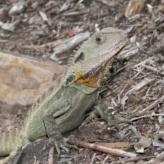 Intellagama lesueurii (Eastern Water Dragon) at ANBG - 12 Jun 2020 by Tim L