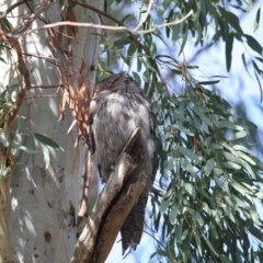 Podargus strigoides (Tawny Frogmouth) at ANBG - 12 Jun 2020 by Tim L