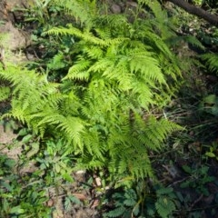 Calochlaena dubia (Common Ground Fern) at FS Private Property - 12 Jun 2020 by Brigitte