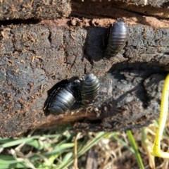 Panesthia australis (Common wood cockroach) at Hughes, ACT - 10 Jun 2020 by KL