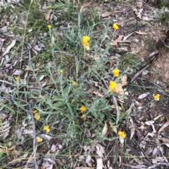 Chrysocephalum apiculatum (Common Everlasting) at Scriveners Hut - 11 Jun 2020 by ruthkerruish