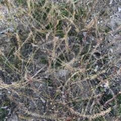 Lepidium africanum at Scriveners Hut - 11 Jun 2020 by ruthkerruish