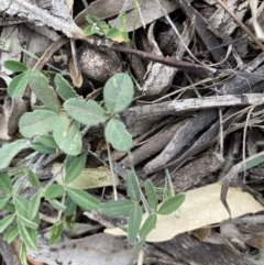 Glycine clandestina (Twining glycine) at Hughes, ACT - 12 Jun 2020 by KL