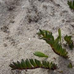 Wilsonia backhousei (Narrow-leafed Wilsonia) at Bournda Environment Education Centre - 10 Jun 2020 by JackieMiles