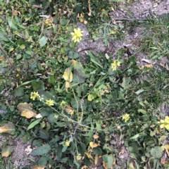 Hirschfeldia incana (Buchan Weed, Yellow Turnip Weed, Hairy Brassica) at Scriveners Hut - 11 Jun 2020 by ruthkerruish