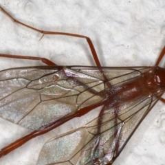 Enicospilus insularis at Ainslie, ACT - 11 Jun 2020
