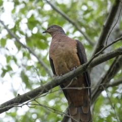 Macropygia phasianella (Brown Cuckoo-dove) at Penrose - 10 Jun 2020 by Aussiegall