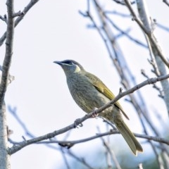Meliphaga lewinii (Lewin's Honeyeater) at Penrose - 13 Jun 2020 by Aussiegall