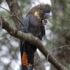 Calyptorhynchus lathami (Glossy Black-Cockatoo) at Penrose - 13 Jun 2020 by Aussiegall