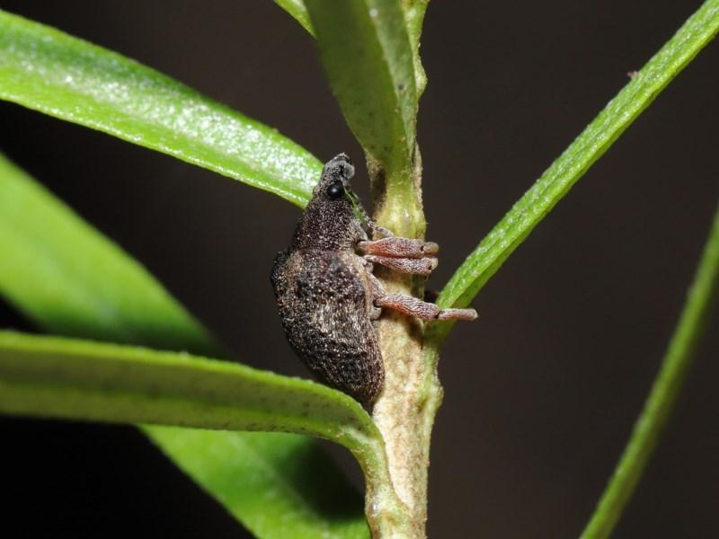 Gonipterus sp. (genus) at ANBG - 12 Jun 2020