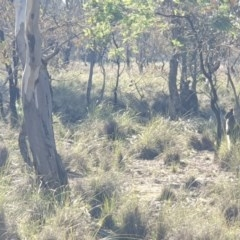 Wallabia bicolor (Swamp Wallaby) at Mulligans Flat - 7 Jun 2020 by markrattigan