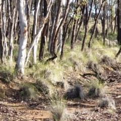 Wallabia bicolor (Swamp Wallaby) at Mulligans Flat - 13 Jun 2020 by markrattigan