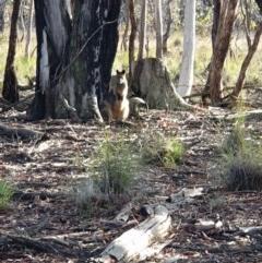 Wallabia bicolor (Swamp Wallaby) at Amaroo, ACT - 13 Jun 2020 by markrattigan