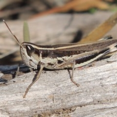 Macrotona australis (Common Macrotona Grasshopper) at Bullen Range - 20 Feb 2020 by michaelb