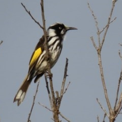 Phylidonyris novaehollandiae (New Holland Honeyeater) at Jerrabomberra Wetlands - 12 Jun 2020 by RodDeb