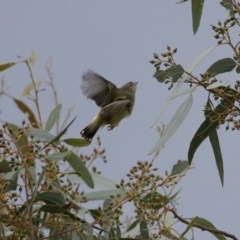 Smicrornis brevirostris (Weebill) at Jerrabomberra Wetlands - 12 Jun 2020 by RodDeb