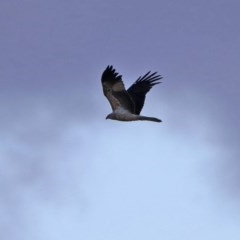 Haliastur sphenurus (Whistling Kite) at Jerrabomberra Wetlands - 12 Jun 2020 by RodDeb