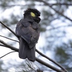 Zanda funereus (Yellow-tailed Black-Cockatoo) at Jerrabomberra Wetlands - 12 Jun 2020 by RodDeb
