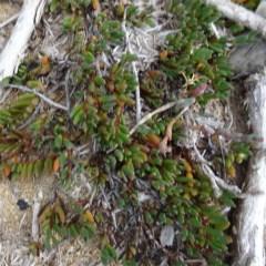 Wilsonia backhousei (Narrow-leafed Wilsonia) at Bermagui, NSW - 11 Jun 2020 by JackieMiles