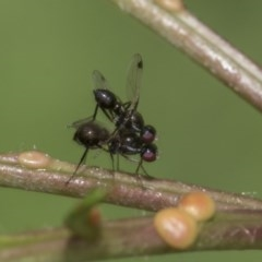 Parapalaeosepsis plebeia (Ant Fly) at Higgins, ACT - 2 Mar 2020 by AlisonMilton