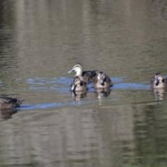 Anas superciliosa (Pacific Black Duck) at Tidbinbilla Nature Reserve - 13 Jun 2020 by Bernadette
